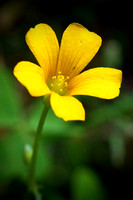 Yellow Wood-Sorrel